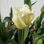 Tulip Crispa
