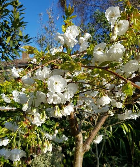 Prunus Shirotae...