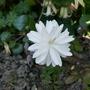 Sanguinaria_canadensis_multiplex_2020