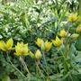 Tulipa_sylvestris_2020