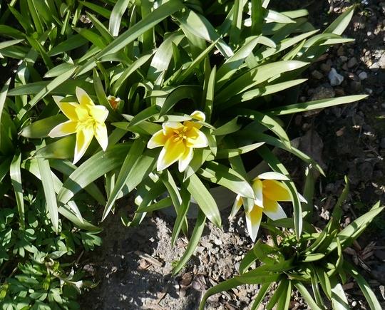 Tulipa tarda - 2020 (Tulipa tarda)