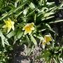 Tulipa_tarda_2020