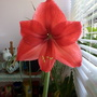 Amaryllis Red now fully open in kitchen 25th March 2020 001 (Amaryllis Hippeastrum)