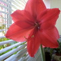 Amaryllis Red now fully open in kitchen 25th March 2020 002 (Amaryllis Hippeastrum)