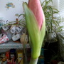 Amaryllis Red bud about to open in kitchen 20th March 2020 (Amaryllis Hippeastrum)