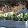 A bag of free daffs in the raised veg planters