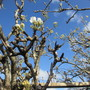 Pear Blossom Conference (Pyrus communis (Pear))