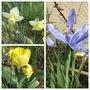 Flowering Bulbs (Bulbs)
