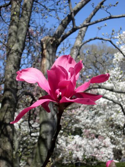Magnolia - Ann