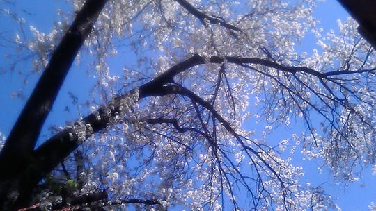 Glorious Cherry Trees