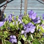 Vinca minor in hanging basket with rusty chain !