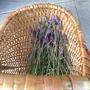 Lavender harvest (Lavandula angustifolia (Lavender))