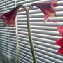 Amaryllis going over in kitchen 31st March 2020 (Amaryllis Hippeastrum)