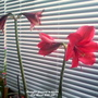 Amaryllis flowering in kitchen 31st March 2020 001 (Amaryllis Hippeastrum)