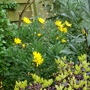 Pittosporum and Euryops...