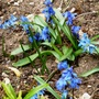 Siberian_squill_2_