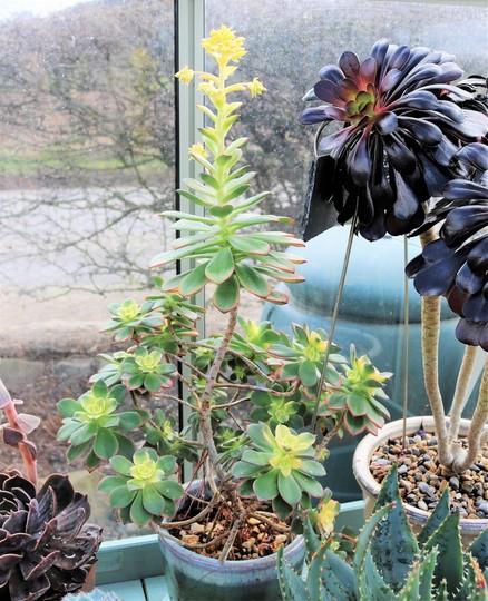 Aeonium haworthii variegate almost in flower