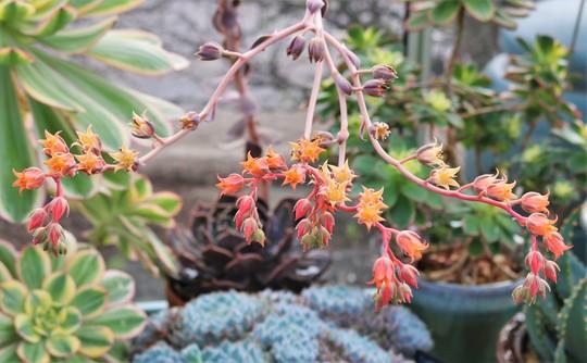 Un-named echeveria in flower