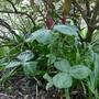 Trillium cuneatum - 2020 (Trillium cuneatum)