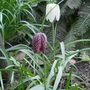 Fritillaria meleagris - 2020 (Fritillaria meleagris)