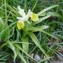 Iris bucharica - 2020 (Iris bucharica (Iris))