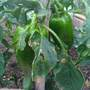 Red Bell Pepper (Capsicum annuum (Sweet pepper))