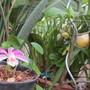 Pleione formosana (Pleione formosana)