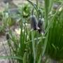 Fritillaria elwesii - 2020 (Fritillaria elwesii)