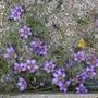 Romulea bulbocodium - 2020 (Romulea bulbocodium)