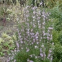 Rosmarinus officinalis 'Roseus' - 2020 (Rosmarinus officinalis 'Roseum')