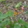 Epimedium x warleyense - 2020 (Epimedium x warleyense)