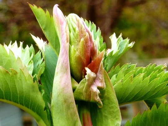 Melianthus Major  flower bud