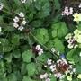 For Janey, Prunus cerasifera