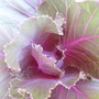 close up  of flower kale