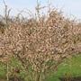 Prunus Kojo-No-Mai (Grafted) (Prunus incisa)