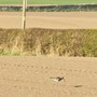 Curlew in the field behind our home.