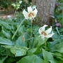 Erythronium caucasicum - 2020 (Erythronium caucasicum)