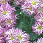 Chrysanthemum (Chrysanthemum morifolium)
