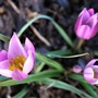Tulip saxatilis 'Lilac Wonder'