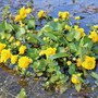 The first flower in the pond every year....Kingcup (Caltha palustris (Kingcup))