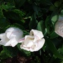 Tulipa 'Diamond Jubilee'