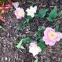 Tulip Angelique.