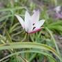 Tulipa clusiana - 2020 (Tulipa clusiana)