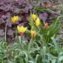Tulipa clusiana var chrysantha - 2020 (Tulipa clusiana)