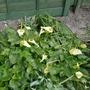Arum creticum 'Karpathos' (formerly FCC Form) - 2020 (Arum creticum)