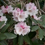 Rhododendron bureavii (close-up) - 2020 (Rhododendron bureavii)