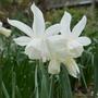 Narcissus 'Toto' - 2020 (Narcissus)