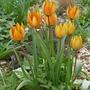 Tulipa whittallii - 2020 (Tulipa whittallii)