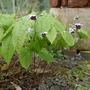 Epimedium epsteinii - 2020 (Epimedium epsteinii)