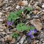 Anemone obtusiloba - 2020 (Anemone obtusiloba)